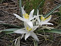 Leucocrinum montanum.jpg