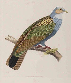 Norfolk ground dove - From C L Bonaparte's Iconographie des Pigeons