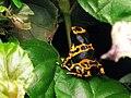 Leucomelas-femelle.jpg