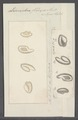 Leucophra fluxa - - Print - Iconographia Zoologica - Special Collections University of Amsterdam - UBAINV0274 113 16 0032.tif