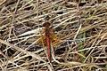 Libeller (Libellulidae) (4938986266).jpg