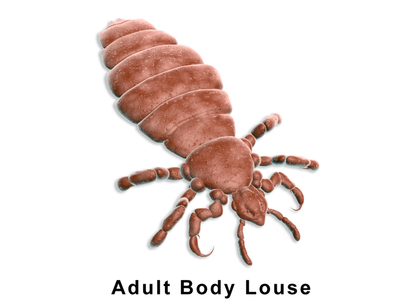 File:Lice Body.png