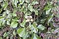Lierre grimpant (Hedera helix en fleur)-0671.jpg