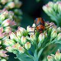 Lil Beetle (390080962).jpg