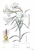 Lilium formosanum.jpg