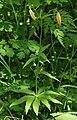 Lilium medeoloides bud s3.JPG