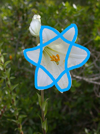 The pettels of Lilium candidum form a shape of...