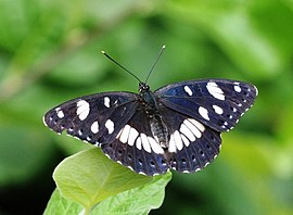 Limenitis reducta 0.jpg
