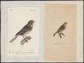 Linaria flavirostris - 1700-1880 - Print - Iconographia Zoologica - Special Collections University of Amsterdam - UBA01 IZ16000205.tif