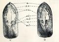 Lingula anatina 004.png