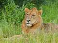 Lion (Panthera leo) juvenile (12680121084).jpg