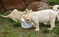 Lion cubs (4300824806).jpg