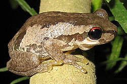 Litoria dentata2.jpg