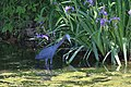 Little Blue Heron (33898063064).jpg