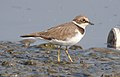 Little Ringed Plover Charadrius dubius by Dr. Raju Kasambe DSCN0971 (3).jpg