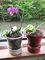 Little orchid D1310.jpg