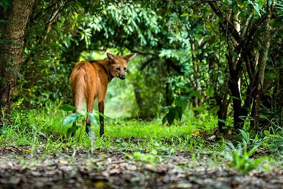 Lobo-guará (Chrysocyon brachyurus).jpg