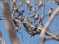 Lonchura castaneothorax -near Mareeba, Queensland, Australia -flock-8 (3).jpg