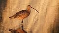 Long-billed Curlew in Goleta.jpg