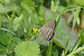 Long-tailed Blue (Lampides boeticus) (15508041441).jpg