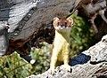 Long tailed weasel on Seedskadee National Wildlife Refuge (35240138322).jpg