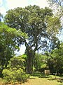 Luehea grandiflora - Jardim Botânico de São Paulo - IMG 0334.jpg