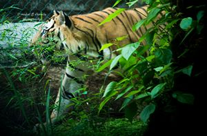 Bannerghatta National Park - Image: Lurking tiger