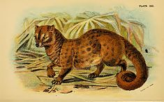 Lydekker - Common Palm Civet.JPG