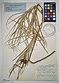 MNH DA 017-PAND-134 Freycinetia vidalii Hemsl.jpg