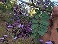 Machaerium amplum - Fabaceae - arbusto escandente espinescente 06.jpg