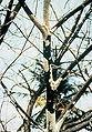 Maconellicoccus hirsutus infested Saman tree.jpg