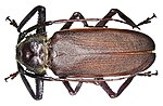 Macrotoma natala Thomson, 1860 male (3441901219).jpg