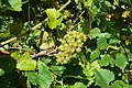 Madeleine Angevine grapes near ripeness.jpg