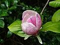 Magnolia × soulangeana blossom.jpg