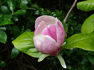 Nicknames of Houston - A Magnolia flower in bloom