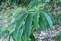 Magnolia doltsopakz1.jpg