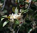 Magnolia laevifolia blooming.jpg