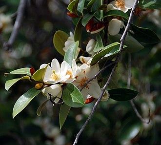Quarryhill Botanical Garden - Image: Magnolia laevifolia blooming