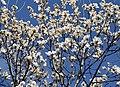 Magnolia sprengeri.jpg