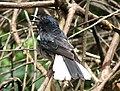Magpie Robin (2126651713).jpg