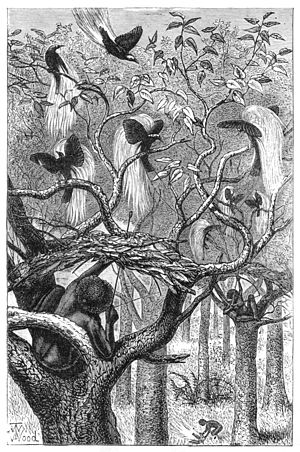 T. W. Wood - Shooting birds of paradise, from The Malay Archipelago