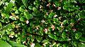 Malayan Eyebright (Torenia polygonoides).jpg