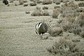 Male Greater Sage-Grouse (7094298925).jpg