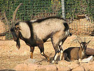 Kri-kri - Male and female in captivity