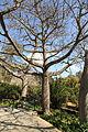 Malta - Attard - San Anton Gardens - Ceiba speciosa 05 ies.jpg