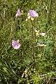 Malva moschata coteau-charteves 02 12072007 1.jpg