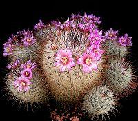 Mammillaria bombycina7 ies.jpg