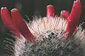 Mammillaria pennispinosa Früchte.jpg