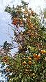 Mandarines à maturation.jpg