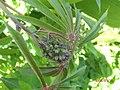 Manihot esculenta Crantz (AM AK330169-5).jpg